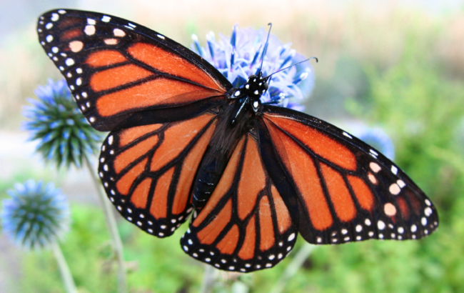 Farfalla Lalumaca